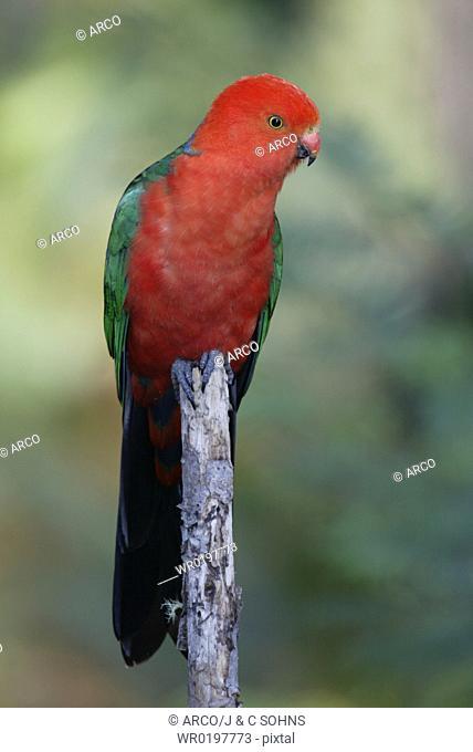 Australian, King, Parrot, male, Australia,Alisterus, scapularis, scapularis