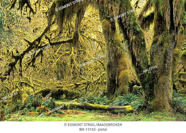 Trees overgrown with moss in the Hoh Rainforest of Olympic National Park