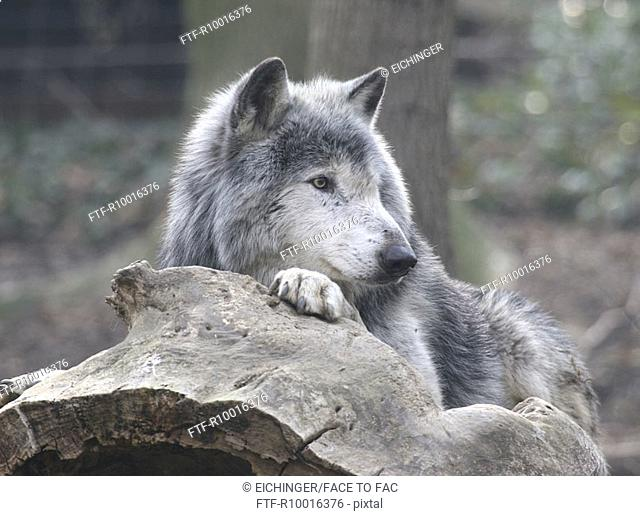 A wolf relaxes on a rock as he stares over something