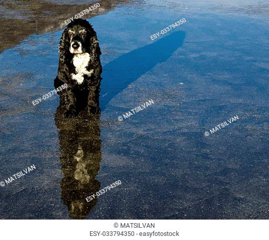 Black cocker spaniel dog with reflections and shadow