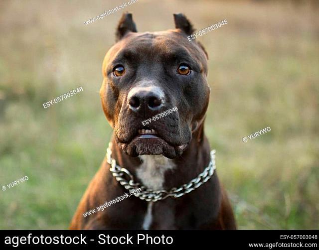 the stupid dog muzzle amstaff Pitbull on the nature