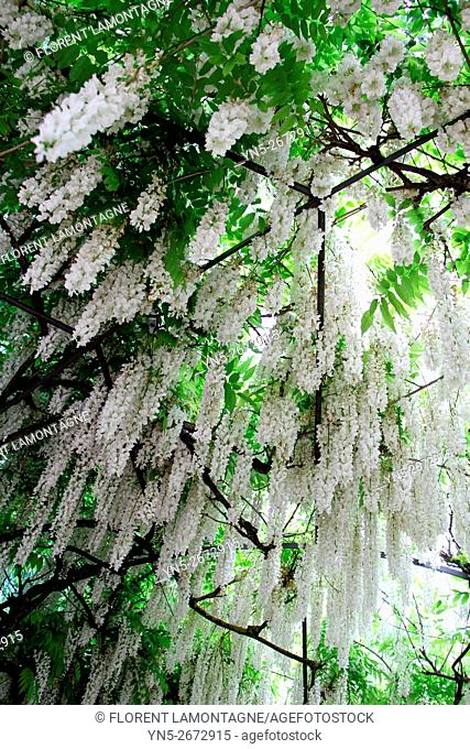 Pergola covered of white wisterias (wisteria floribunda alba)