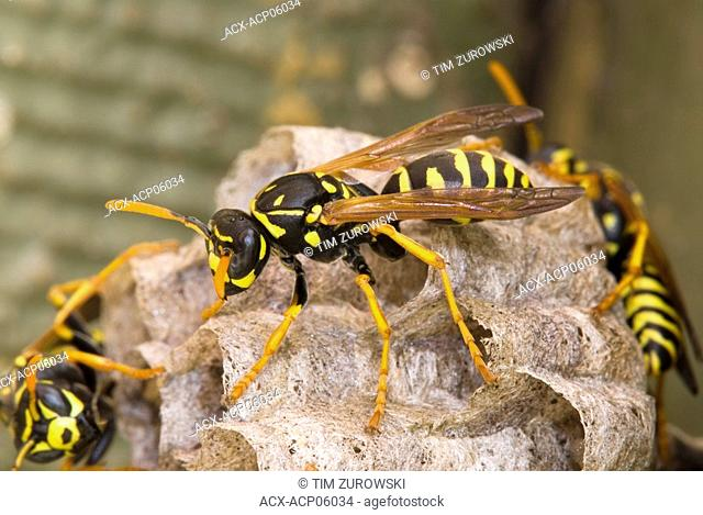 Close up of a Wasp, Canada