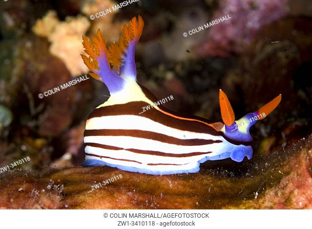 Purple-lined Nembrotha Nudibranch (Nembrotha purpureolineata, Polyceridae Family), Jiko Yance dive site, Lembeh Straits, Sulawesi, Indonesia, Pacific Ocean