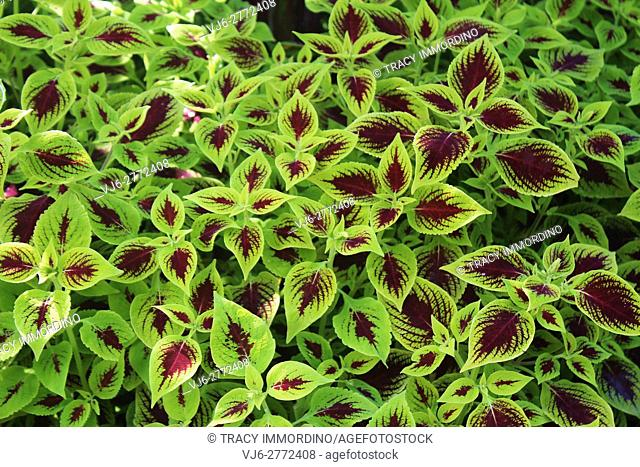 Close up of a cluster of coleus plants with green leaves with maroon centers