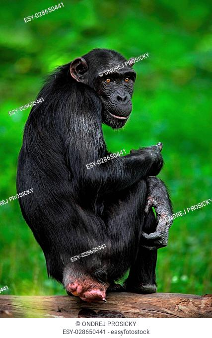Black mankey Chimpanzee, Pan troglodytes