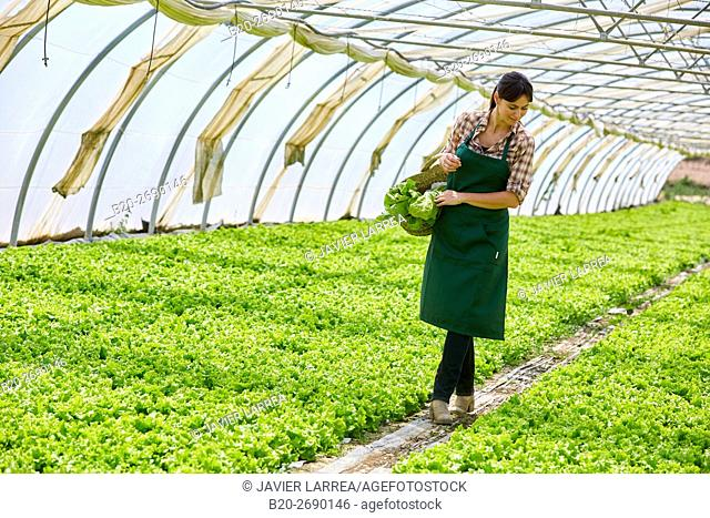 Farmer, harvesting lettuces, Greenhouse, Agricultural field, Villafranca, Navarra, Spain, Europe