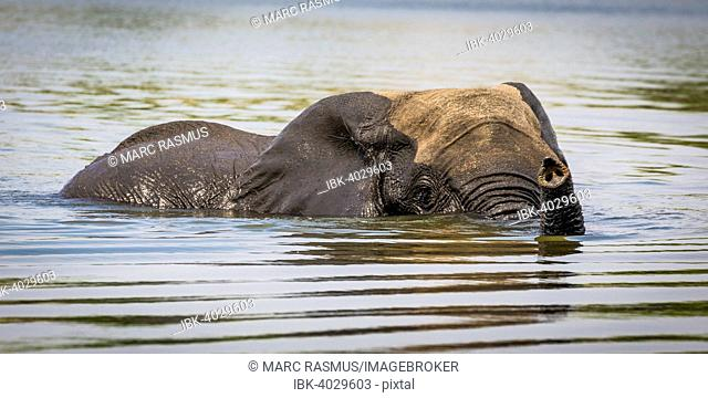 African Elephant (Loxodonta africana) swimming through the Chobe River, Chobe National Park, Botswana