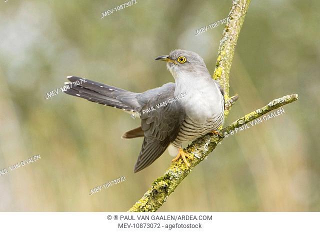 Common Cuckoo - Adult male display (Cuculus canorus). Overijssel - De Wieden - The Netherlands