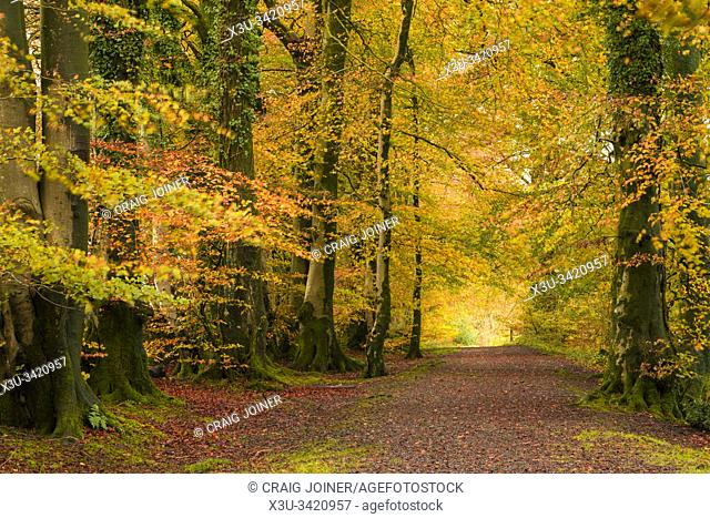 Common Beech trees (Fagus sylvatica) displaying their autumn colour at Netherwood in the Mendip Hills, Somerset