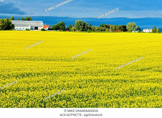 Canola crop in bloom Jonquiere Quebec Canada