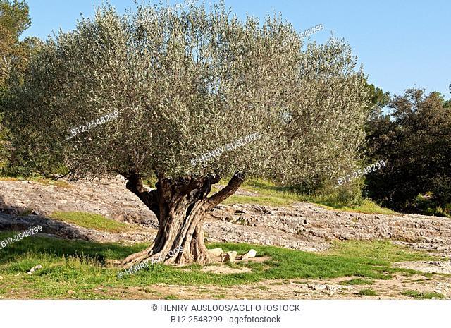 Olive tree, Southern France (Olea europaea)