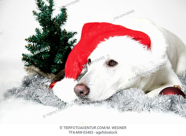 Berger Blanc Suisse with santa hat