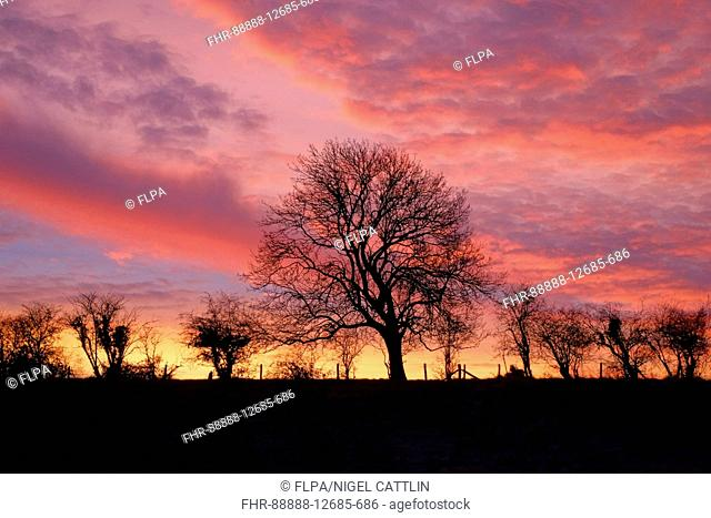 Spectacular winter sunrise over low hill with leafless hedgerow and bare tree, Berkshire, England, December