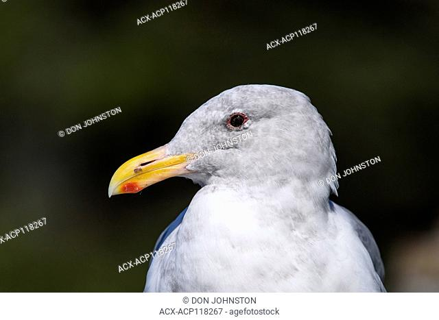 Western gull, Cape Perpetua, Oregon, USA