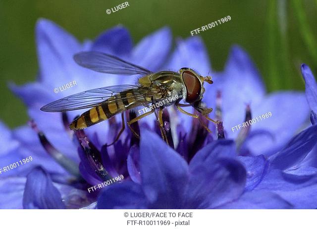 Fly sitting on a cornflower