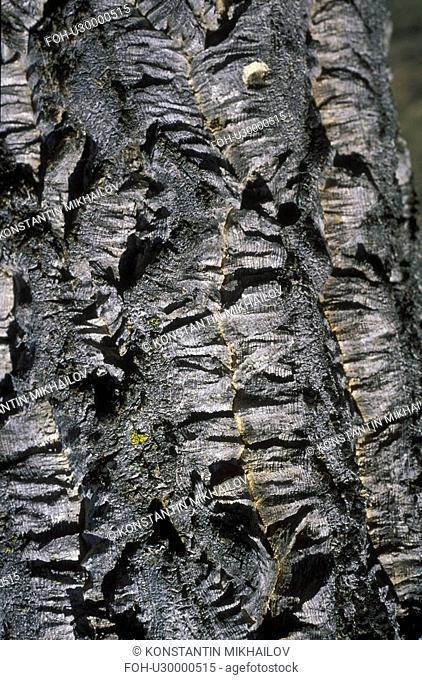 East Siberia, Eatern Siberia, Siberia, background, bark, bole, close-up