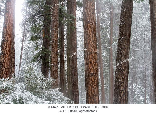 Redwood Trees in Winter Mist from fresh snow, Yosemite National Park, California, USA