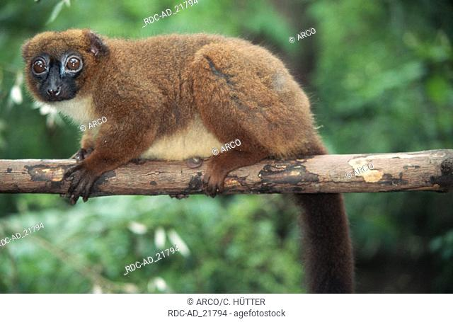Red-bellied Lemur Eulemur rubriventer side Madagascar