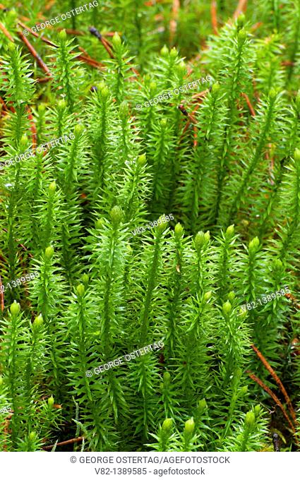 Clubmoss along Maligne Lake Shoreline Trail, Jasper National Park, Alberta, Canada