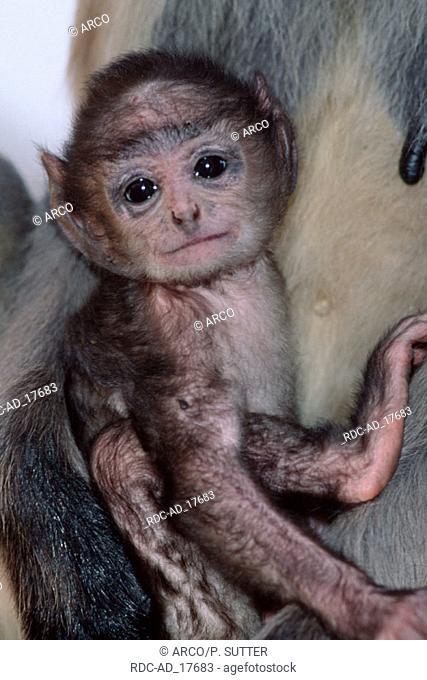 Young Rhesus Monkey Rajasthan India Macaca mulatta