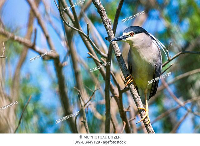 black-crowned night heron (Nycticorax nycticorax), sitting at a sprout, Romania, Danube Delta