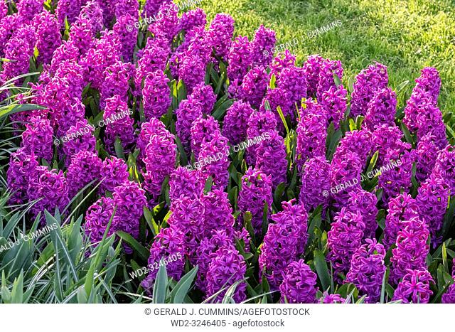 Purple Hyacinthus, Species orientalis, Hyacinth. Attractive spring bulbous flowers. Highly fragrant however the bulbs contain a poison called oxalic acid