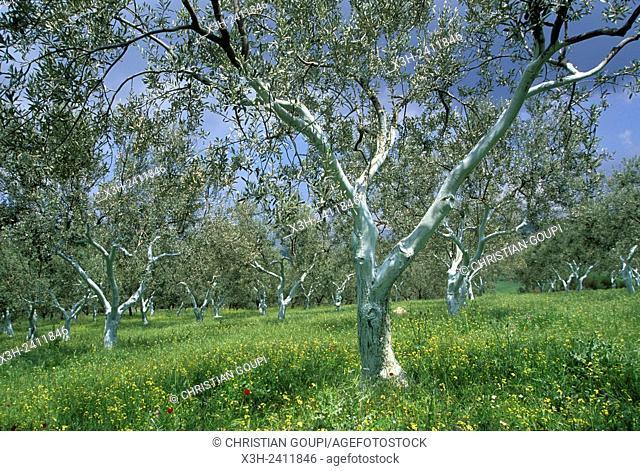 olive tree grove, Argolid, Peloponnese, Greece, Southern Europe
