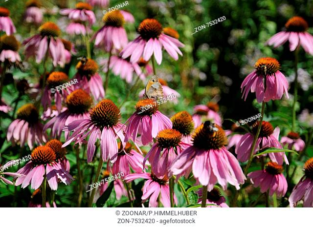 Echinacea purpurea, Roter Sonnenhut, Purple coneflower, Maniola jurtina, Großes Ochsenauge, Meadow brown