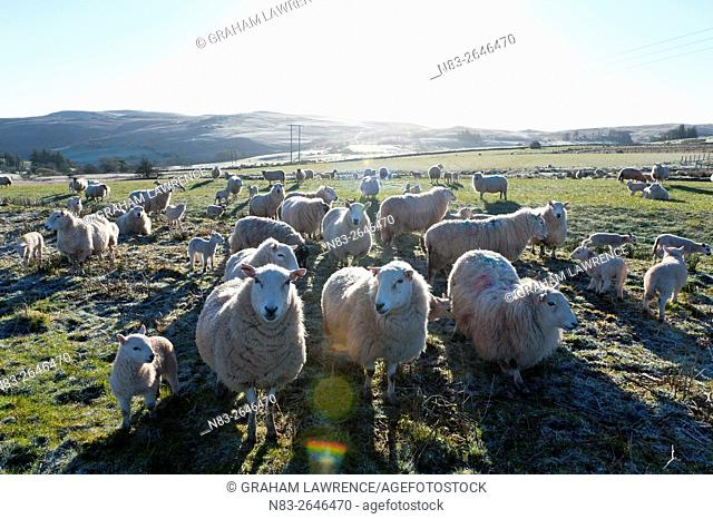 Ewes and lambs on a frosty springtime morning on the Mynydd Epynt range, Powys, Wales, UK