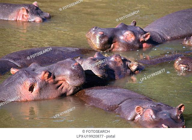 Hippopotamuses Sleeping in the River, High Angle View
