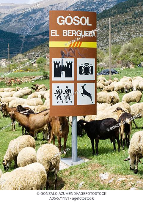 Sheep. Gósol. El Berguedà, Catalonia. Spain. Path of the Good Men (Camí dels Bons Homes). Route of the Cathars. Mountain-bike. BTT. GR 107