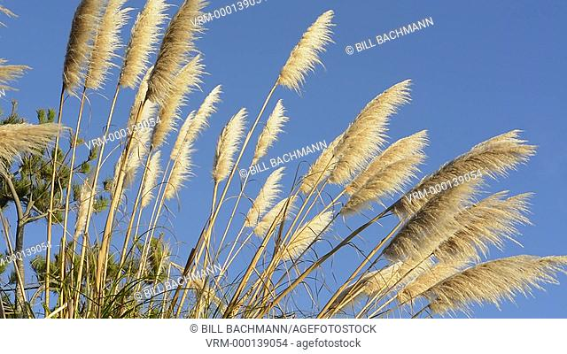 Pacific Coast Highway #1 California tan Pampas Grass near highway into the blue sky graphic plants