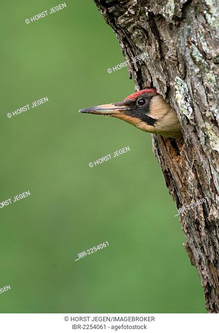 European Green Woodpecker (Picus viridis), Bitburg, Eifel region, Rhineland-Palatinate, Germany, Europe