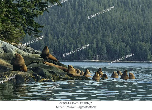 Steller's / Northern Sealions - hauled out on small island off the mouth of the Stikine River (Eumetopias jubatus)