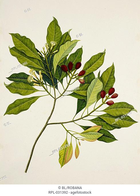 Clove Tree, 'Eugenia Caryophyllus' Spreng. Bullock and S.G. Harrison Myrtaceae. Clove Tree. From an album of 40 drawings made by Chinese artists at Bencoolen