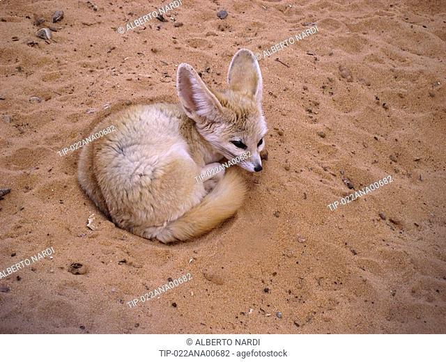 Libya, Fezzan, fennec fox fennecus zerda in Sahara desert