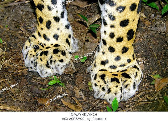 Jaguar Panthera onca front paws, tropical rain forest, Belize, Central America