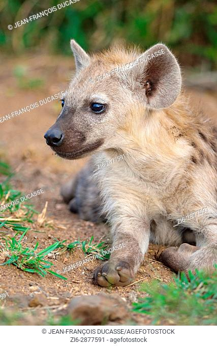 Spotted hyena or Laughing hyena (Crocuta crocuta), young lying at burrow entrance, Kruger National Park, South Africa, Africa