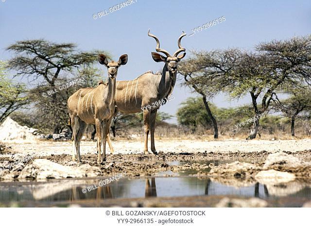 Greater kudu pair (Tragelaphus strepsiceros) at Onkolo Hide, Onguma Game Reserve, Namibia, Africa