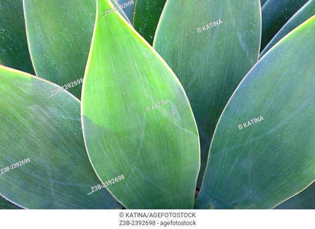 Close-up view of agave leaves, Santa Barbara Botanic Garden, Santa Barbara, California, CA, USA