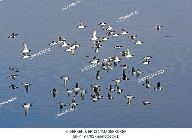 Thick-billed murres (Uria lomvia) flying over water, Spitsbergen, Norway
