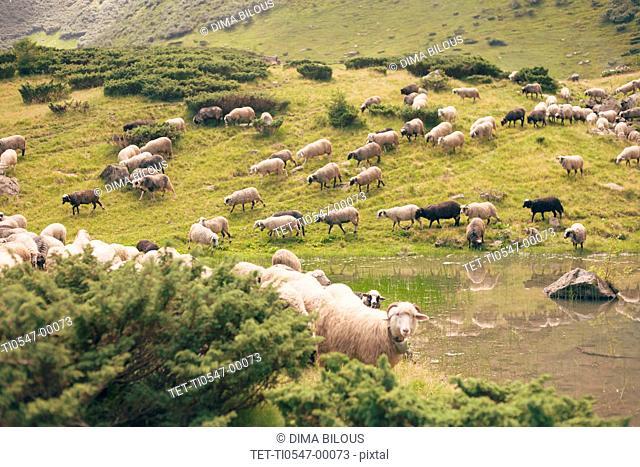 Flock of sheep in the Carpathian Mountain Range