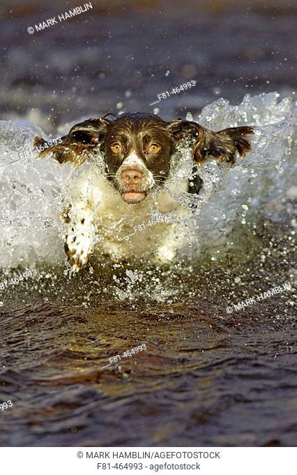 English Springer Spaniel dog running through water. UK