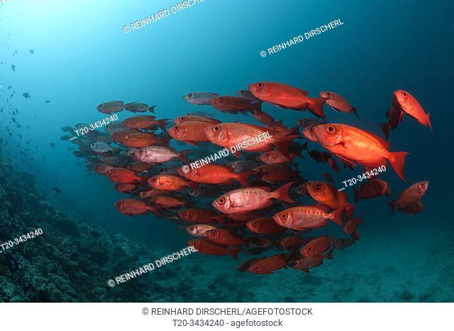 Shoal of Crescent-tail Bigeye, Priacanthus hamrur, Ari Atoll, Indian Ocean, Maldives