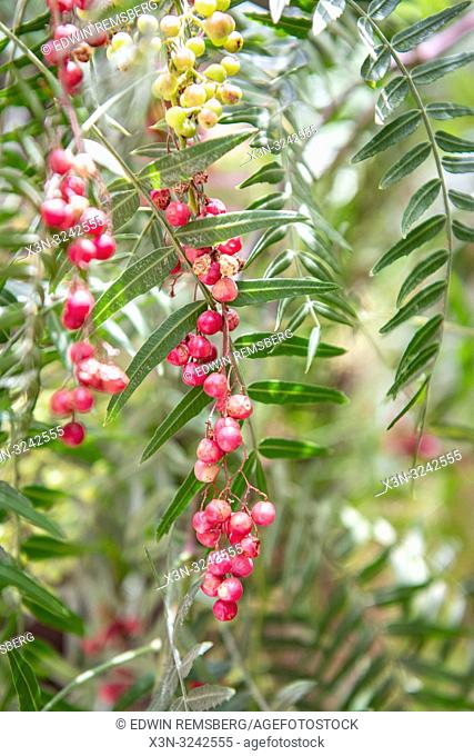 Pink peppercorns (Schinus molle) grow on branches of Peruvian peppertree, Tighmert Oasis, Morocco