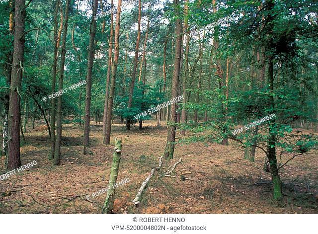 BELGIUM - KALMTHOUT - KALMTHOUTSE HEIDE NRPINE FOREST