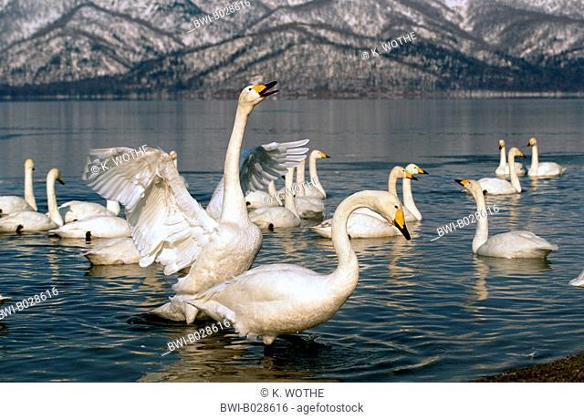 whooper swan (Cygnus cygnus), group in the winter habitat at a lake shore, Japan, Hokkaido, Kussharo-Ko
