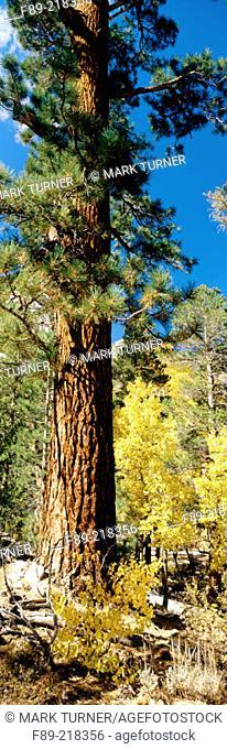 Aspens (Populus tremuloides) in autumn gold under Jeffrey pine (Pinus jeffreyi). Ansel Adams Wilderness, Inyo National Forest, CA