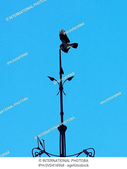 Norway Sorlandet Arendal Weather Crow who took up residence on this weathervane when the Cock was removed for renovation Stein Verngard